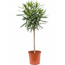 Nerium oleander biely kvet kmienik 21x95 cm
