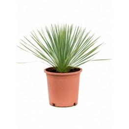 Yucca rostrata pots. 27x50 cm