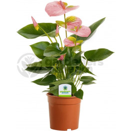 Anthurium and. Joli pink 12x50 cm