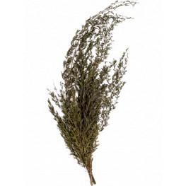 Lungifolia bush 80 cm
