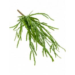 Rhipsalis pandora bush green 35 cm