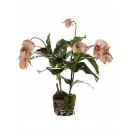 Medinilla Bush Pink 60 cm
