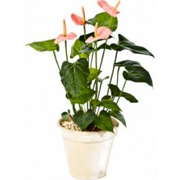 Anthurium de luxe pink 56cm