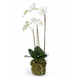 Phalaenopsis plant w. moss white 70 cm