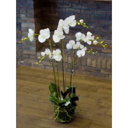 Phalaenopsis plant white 90cm