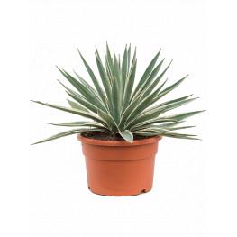 Agave angustifolia green/gray 27x45 cm