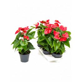 Anthurium andraeanum Sierra red 17x55 cm