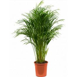 Dypsis (Areca) lutescens 24x120 cm
