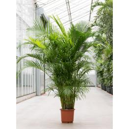 Dypsis (Areca) lutescens 30x210 cm