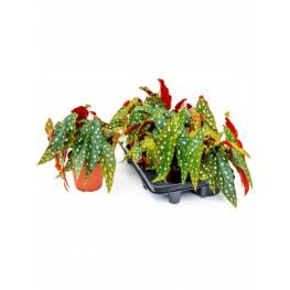Begonia Maculata 6/tray 12x25 cm