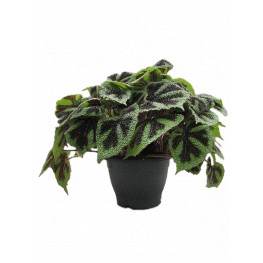 Begonia masoniana 'Iron Cross' 26x40 cm