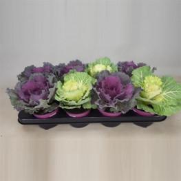 Brassica - kapusta 12x20 cm