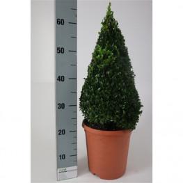 Buxus sempervirens pyramid 23x50 cm