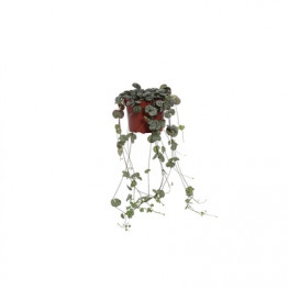 Ceropegia woodiii 12x20 cm