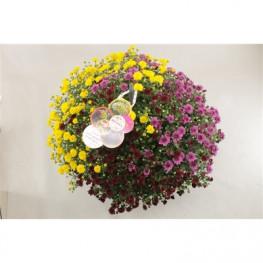 Chryzantema - Chrysanthemum Ind. Skyfall farebný mix 23x45 cm