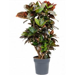 Croton (codiaeum) petra Branched 27x105 cm