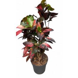 Croton (codiaeum) iceton 24x90 cm