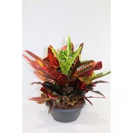 Kroton - Croton (Codiaeum) variegatum large leafed Excellent 27x40 cm