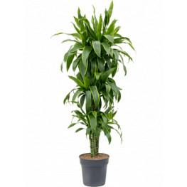 """Dracena - Dracaena fragrans """"Arturo"""" Branched multi 30x160 cm"""