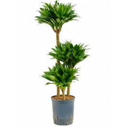 Dracaena fragrans compacta 60-30-15 18/19 v. 90 cm