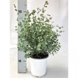 Eucalyptus gunii 17x55 cm