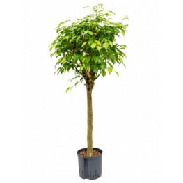 """Fikus - Ficus benjamina """"Exotica"""" Stem 22/19 výška 125 cm"""