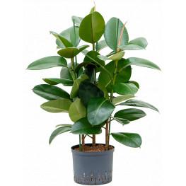 "Fikus - Ficus elastica ""Robusta"" 3pp 25/19 výška 85 cm"