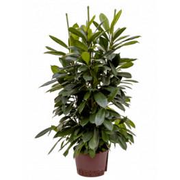Fikus - Ficus cyathistipula 6pp 28/19 výška 110 cm