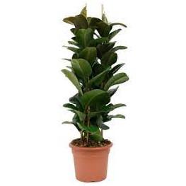 """Fikus - Ficus elastica """"Robusta"""" 35x140 cm"""