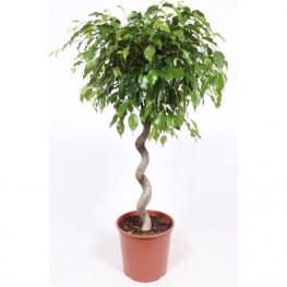 Ficus Benjamina Exotica spiral 30x130 cm