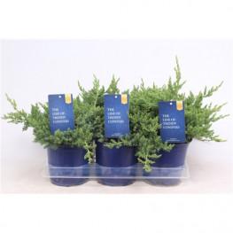 Juniperus procumbens Nana 15x25 cm