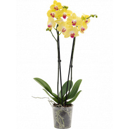 Phalaenopsis orchidea Limelight 12x55 cm