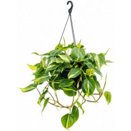Philodendron scandens Brasil hanger 28x50 cm