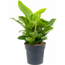 Philodendron imperial green bush 27x50 cm