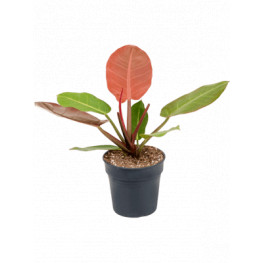 Philodendron Prince of orange  19x40 cm