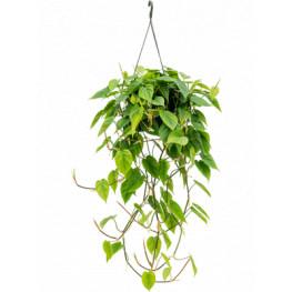 Philodendron scandens hanger 28x80 cm