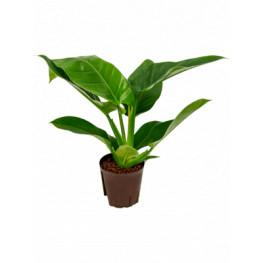 Philodendron imperial green 13/12 výška 30 cm
