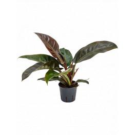 Philodendron imperial red 13/12 výška 35 cm