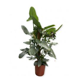 Philodendron hastatum 24x100 cm