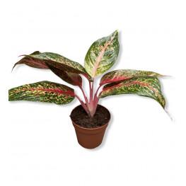 Aglaonema Costatum Pink 12x35 cm