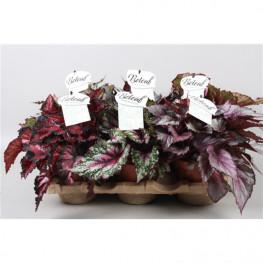 Begonia blad beleaf mixkar 12x22 cm