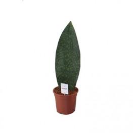 Sansevieria Masoniana Victoria 17x60 cm