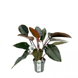 Philodendron red beauty 30x110 cm