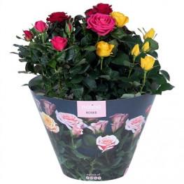 Rosa Victory gemengd Carnaval terras bowl (ruže v kelímku) 23x32 cm