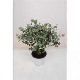 Eucalyptus gunii 14x35 cm