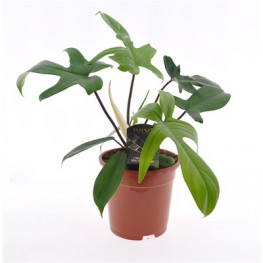 Philodendron green beauty Florida green 17x45 cm