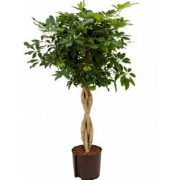 """Schefflera arboricola """"Compacta"""" 22/19 výška 120 cm"""