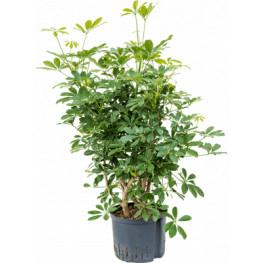 """Schefflera arboricola """"Compacta"""" Branched Pots. 25/19 cm 110 cm"""