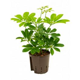 Schefflera arboricola 2pp 13/12 v.30 cm