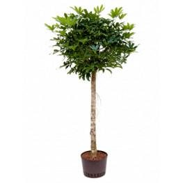 Schefflera arboricola Stem 28/19 výška 165 cm